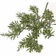 Artemisia tak 45 cm